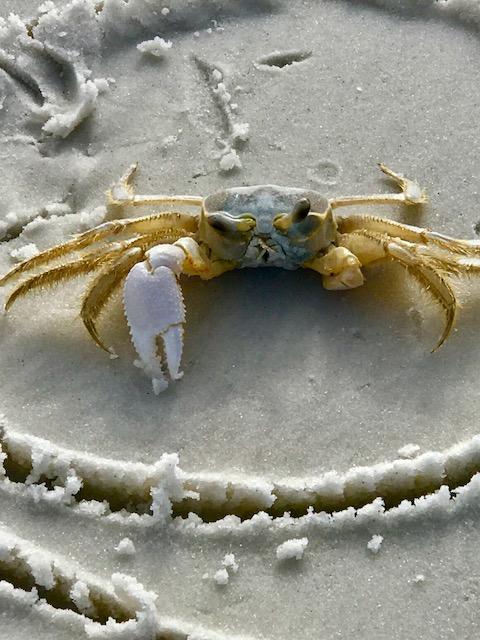 Crab 1